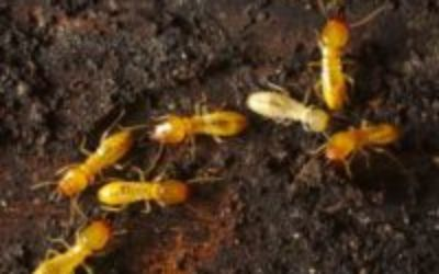 How to Get Rid of Formosan Termites ?