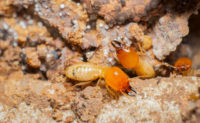 Swarming Termites Facts