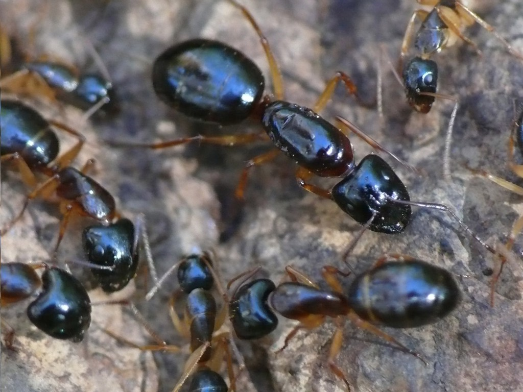 Ants as Pests in Australia