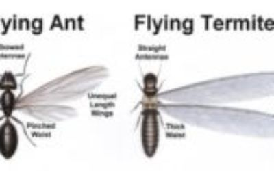 termites vs flying ants ,How Do I Tell A Termite From An Ant?