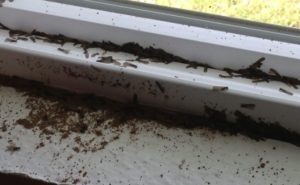 winged termites in house1