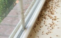 winged termites in house